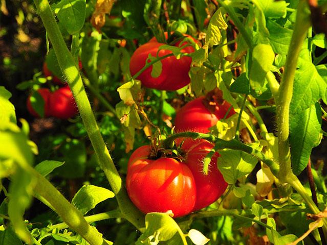 HarmonyHill-Tomatos