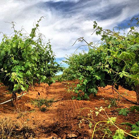 Helwig Winery Vineyard