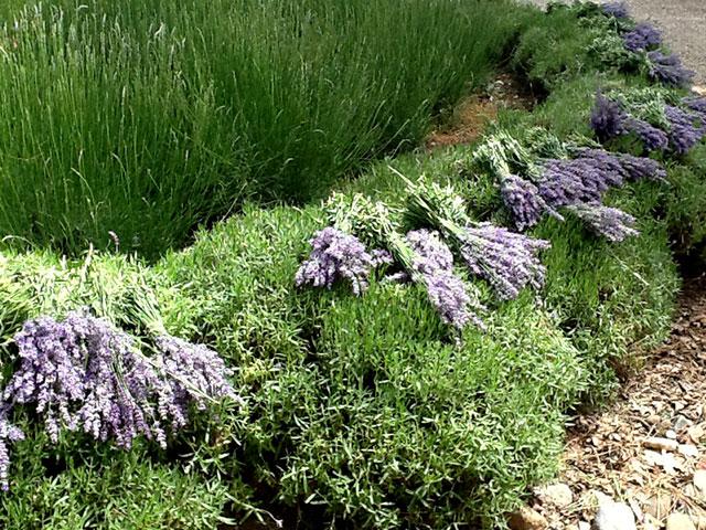 South River Lavender Harvest