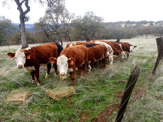 Yearling Steers